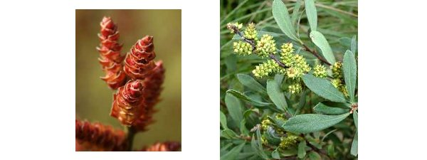 male and female Myrica gale flowers