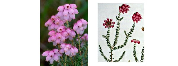 Cross-Leaved Heath Erica tetralix