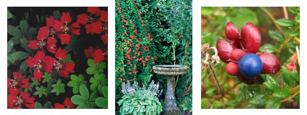 illusutrations of Scottish Flame Flower Tropaeolum speciosum