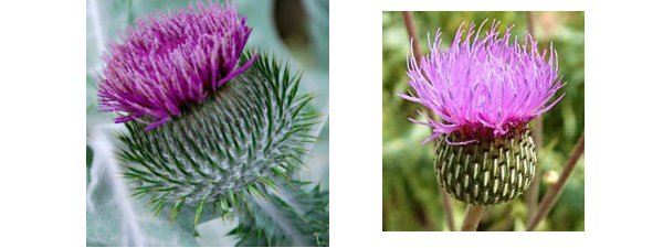 comparison of Onopordum acanthium and Cirsium heterophyllum